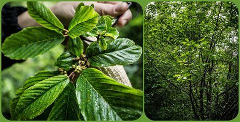 cascara sagrada  small tree       medi flickr