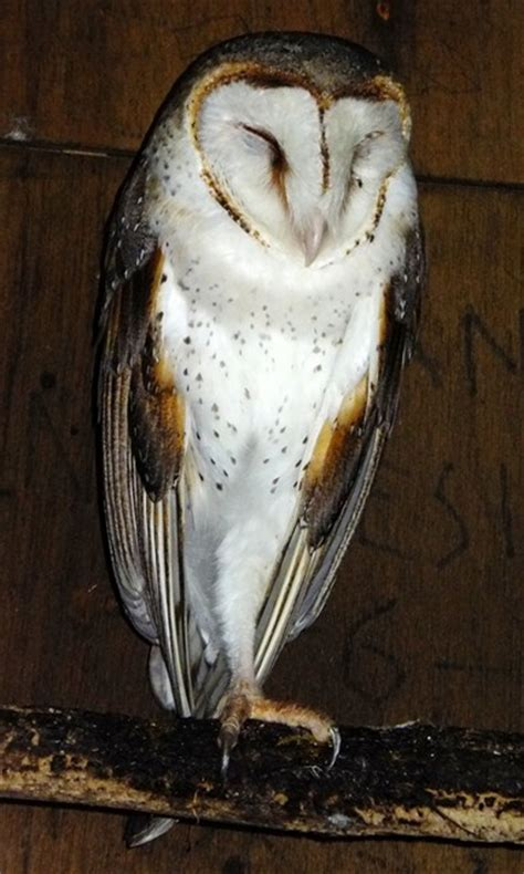 Barn Owl Malaysia by Ozladym S Pictures