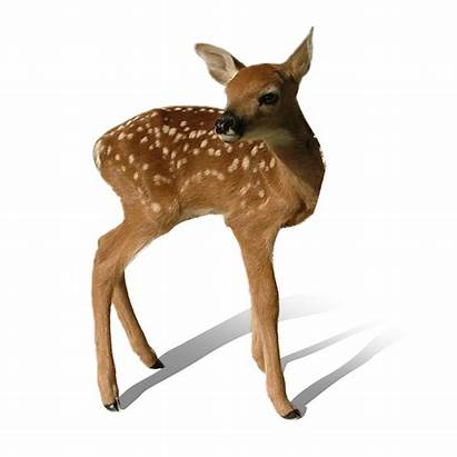 Deer Transparent Clipart Bambi Clip Animals Wild