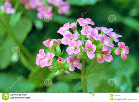 kalanchoe scientific name jonquil flowers stock photo image 40165701