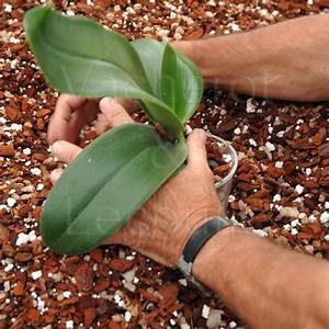 Rempoter Une Orchidee : rempotage orchidee vente fiches conseils ~ Mglfilm.com Idées de Décoration