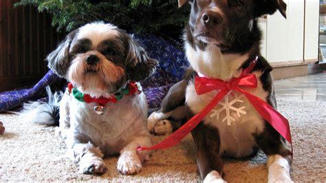 funny christmas dog p full hd wallpapers