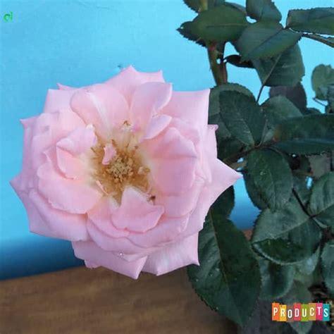 beli disini mawar bunga ungu besar ibad garden