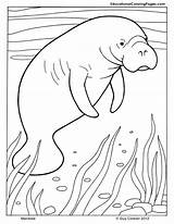 Manatee Coloring Pages Mammals Animal Printable Drawing Dugong Manatees Animals Adult Ocean Drawings Orca Colouringpages Worksheets Intrepid Ibex Colouring Crafts sketch template