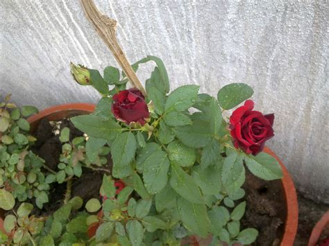 what to plant with roses plants growing in my potted garden growing taj mahal variety of rose in my potted garden