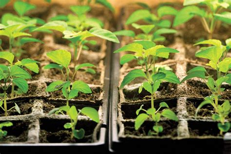starting seedlings starting seeds indoors what you need to know farm and dairy