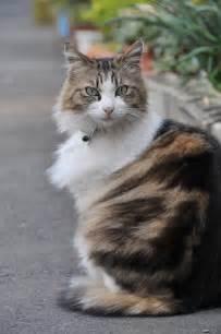 Long Hair Calico Cat