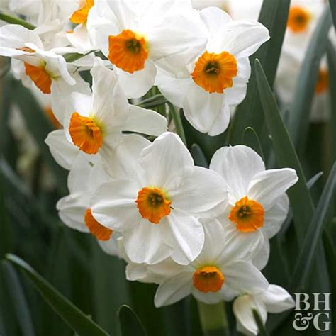 large cupped narcissus mix 20 here s a great price on large cupped narcissus mix 50 bulbs deer resistant 14 16 cm bulbs