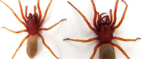 detailed information  woodlouse spider dysdera crocata