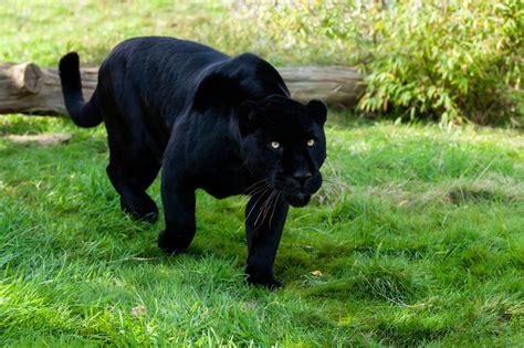 Black Jaguar by Jaguar Animal Facts