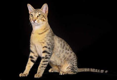 egyptian  cat cat breeds encyclopedia