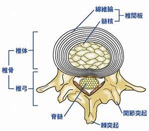 上位頸椎 解剖構造 に対する画像結果