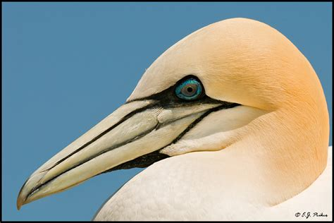in nature northern gannet page