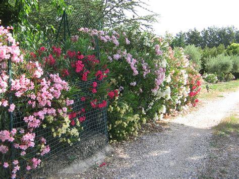 taille des lauriers roses en pot pepinieres aillaud venelles arbuste a fleur