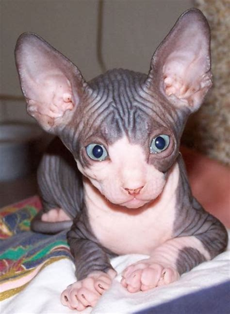 "Biologiavida Sphynx, O Gato ""pelado""  Sphynx, The"