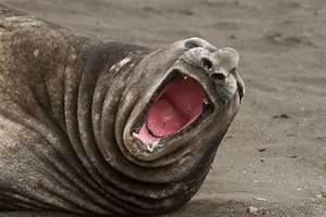 Elephant Seal | Photos and Info | The Wildlife