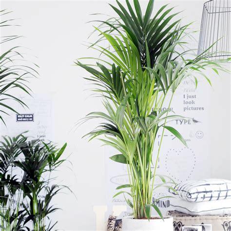 le pour plante interieur kentia 180 200 cm plantes et jardins