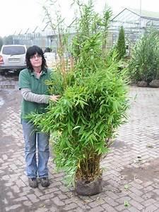 Kübel Bepflanzen Winterhart : fargesia murilae jumbo schirmbambus f r balkon oder ~ Michelbontemps.com Haus und Dekorationen