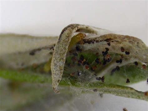 http://www.ukmoths.org.uk/species/prays-oleae/larva/