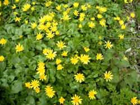 bloemen geel lange steel tuin speenkruid natuurvereniging ijsselmonde