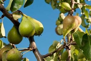 Bäume Verschneiden Obstbäume : b ume beschneiden was sie bei einem birnbaum beachten ~ Lizthompson.info Haus und Dekorationen