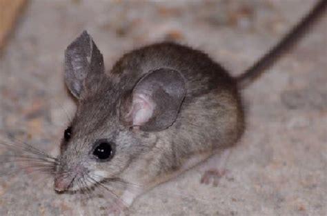 raton pinonero peromyscus truei naturalista
