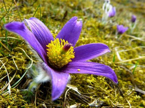 Kuras pavasara meža puķes drīkst plūkt? - Skats.lv