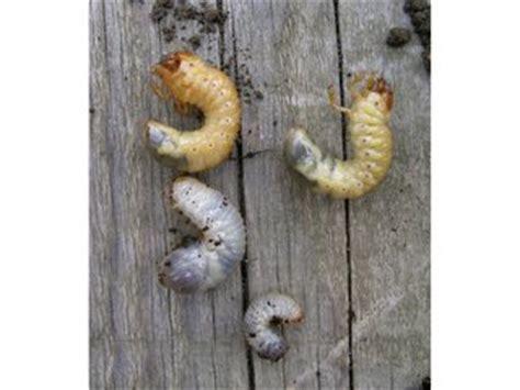 vers blanc cuisine ver blanc ou larve de hanneton