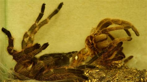 Spinnen Die Vogelspinne  Spinnen  Insekten Und