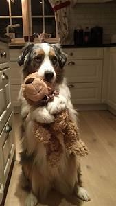 Laisser Un Chien Seul Quand On Travaille : 20 raisons pour lesquelles les bergers australiens sont les meilleurs chiens ipnoze ~ Medecine-chirurgie-esthetiques.com Avis de Voitures