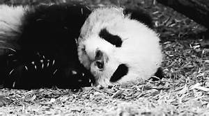 Baby Panda Yawn GIF - Find & Share on GIPHY