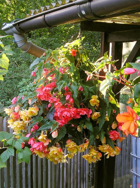 how to plant begonia and winter storage of tuberous begonias it reap