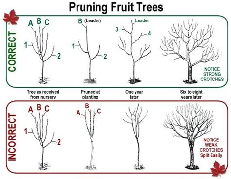 don t be afraid to heavily prune your fruit trees north