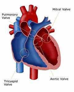 Heart Valves Anatomy Pictures