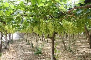 Uva apirena: in Puglia si sperimenta l'allevamento a Y AgroNotizie Vivaismo e sementi