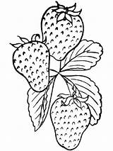 Strawberry Coloring Berries Fruits Recommended sketch template