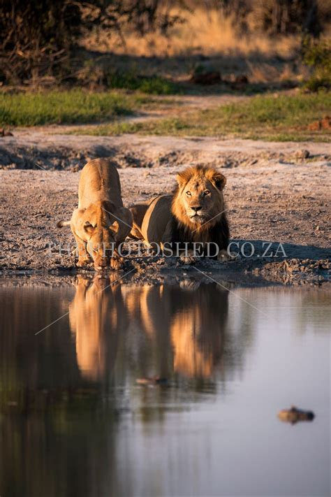 lion  lioness drinking  photo shed