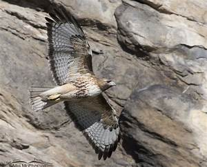 Red-tailed Hawk flying in front of a rock face – Mia ...