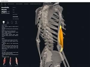 Muscles  Brachialis   U2013 Anatomy  U0026 Physiology