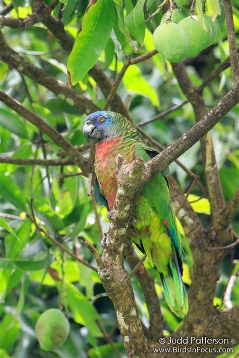 endemic birds  st lucia birds  focus