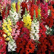 Flowers Snapdragons Dragon
