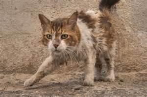 picture of cats photo 1217 08 unkempt cat at sikkat al safaa a corner of