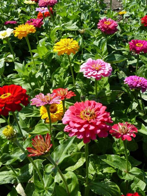 zinnia dahlia zinnia elegans dahlia flowered mixed seeds 163 1 25 from chiltern seeds chiltern seeds secure