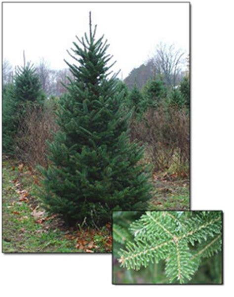 fresh canaan fir christmas trees christmas farms