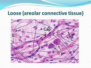 Areolar Tissue Diagram