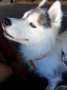 Bear - Small Male Keeshond x Siberian Husky Mix in VIC ...
