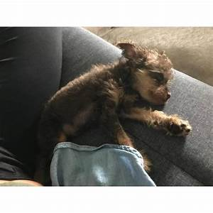 Pinny Poo Miniature Pinscher Poodle Mix Puppy For Sale