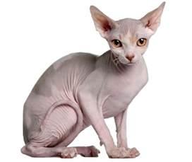 sphinx cat 50 cutest hairless sphynx cat photos golfian