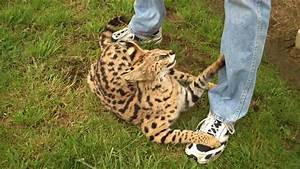 Serval cat - a tame wildcat who acted like a domestic cat ...