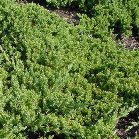 juniperus procumbens nana japanese garden juniper